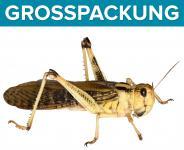 Wanderheuschrecken Heuschrecken  gross 100 Stück