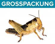 Wanderheuschrecken Heuschrecken  subadult 50 Stück