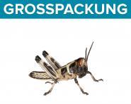 Wüstenheuschrecken Heuschrecken klein 300 Stück