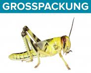 Wüstenheuschrecken Heuschrecken sub. 300 Stück