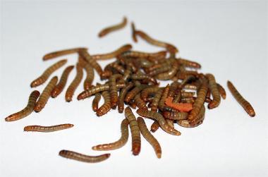 Mehlwürmer 250gramm