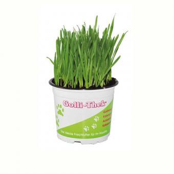Softgras - Weizengras im Topf