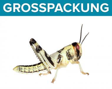 Wüstenheuschrecken Heuschrecken mittel 100 Stück