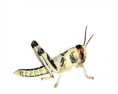 Wüstenheuschrecken Heuschrecken  mittel 11 Stück
