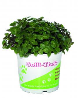 Golliwoog Futterpflanzen im Topf