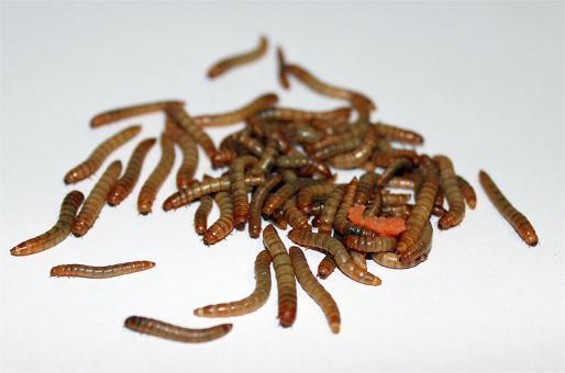 Mehlwürmer 500gramm