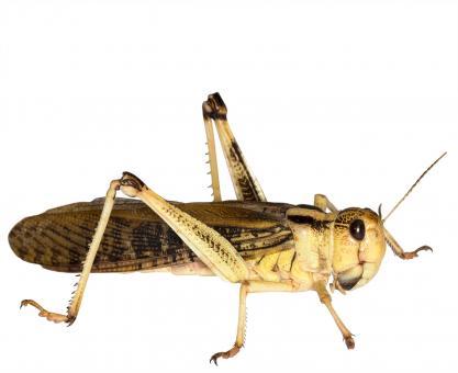 Wanderheuschrecken Heuschrecken groß 9 Stück