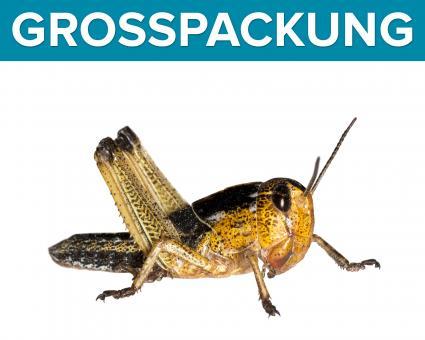 Wanderheuschrecken Heuschrecken mittel 300 Stück
