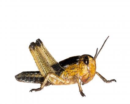 Wanderheuschrecken Heuschrecken mittel 13 Stück