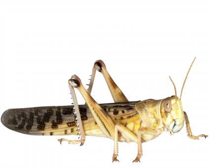 Wüstenheuschrecken Heuschrecken gross 9 Stück