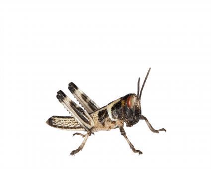 Wüstenheuschrecken Heuschrecken klein 15 Stück