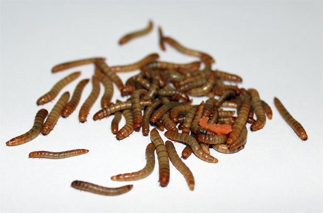 Mehlwürmer gut gefüllte Dose 50g