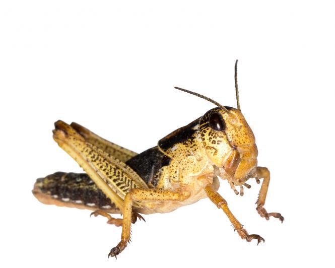 Wanderheuschrecken Heuschrecken  sub. 12 Stück