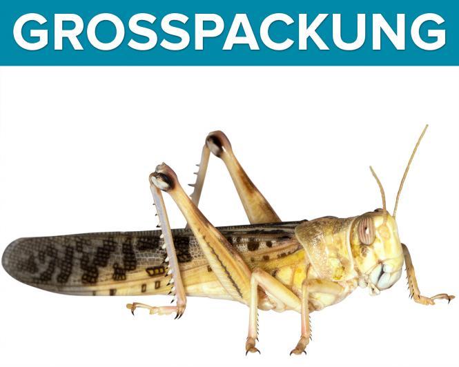Wüstenheuschrecken Heuschrecken  gross 50 Stück