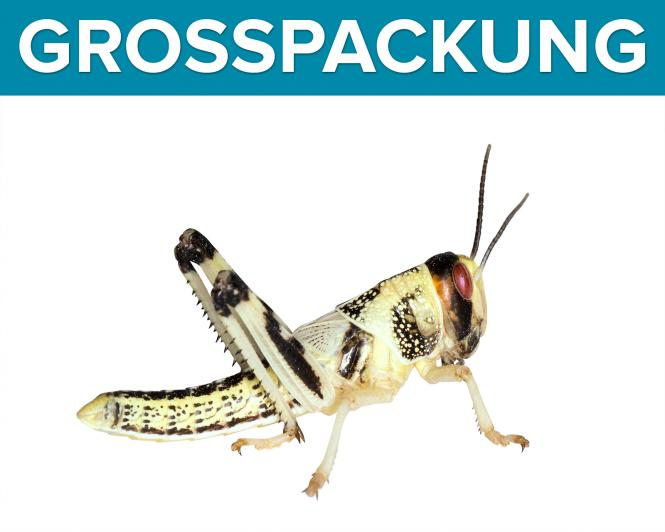 Wüstenheuschrecken Heuschrecken  mittel 300 Stück