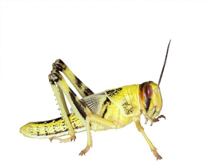 Wüstenheuschrecken  Heuschrecken sub. 10 Stück